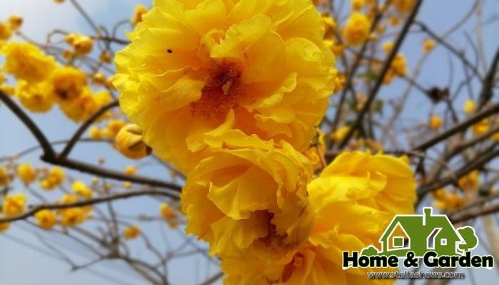 4 ดอกไม้แต่งสวนสีเหลือง  อีกหนึ่งโทนสีที่ได้รับความนิยมในการนำมาตกแต่งสวนหลังบ้าน นั่นก็คือ ไม้ดอกสีเหลือง อย่างเช่นดอกดาวเรือง ที่ปลูกกัน